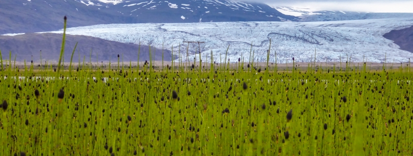 Fergin (Equisetum fluviatile) í Baulutjörn á Mýrum. Í baksýn er Fláajökull. Ljósm.: Lilja Jóhannesdóttir, 3. júlí 2018.